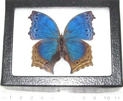 Real Framed Butterfly Blue Salamis Temora Africa