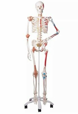 "New Unopened 3B Scientific A13 ""Sam"" Skeleton Model w/ Muscles & Ligaments"