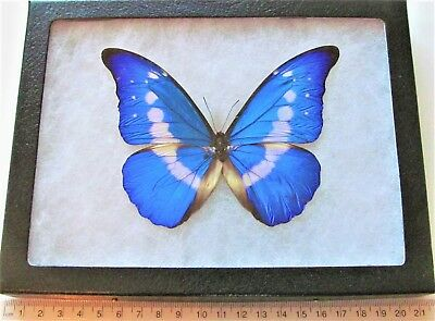 Real Framed Butterfly Blue White Morpho Rhetenor Helena Male H2