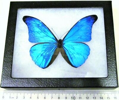 Real Framed Butterfly Blue Morpho Rhetenor Cacica Peru
