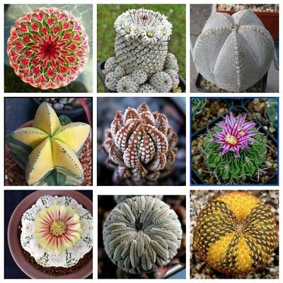 200PCS Mini Cactus Seeds Bonsai Plant Flower Indoor Succulent Perennial Rare Pot