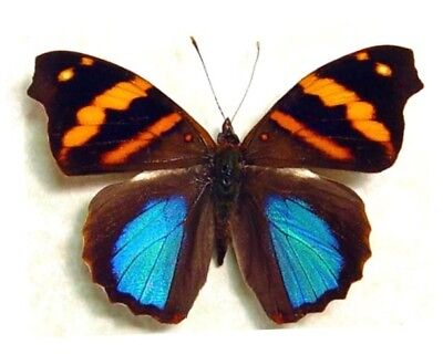 One Real Butterfly Blue Orange Epiphile Orea Peru Unmounted Wings Closed