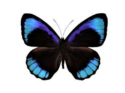 One Real Butterfly Blue Eunica Alcmena Peru Unmounted Wings Closed