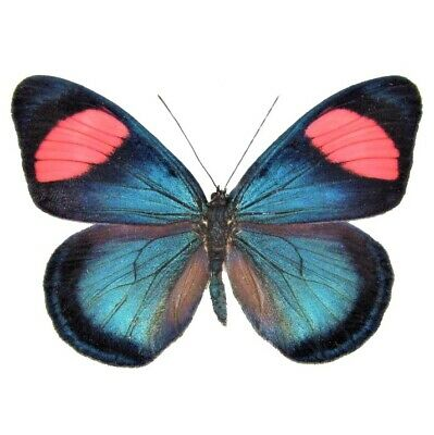 One Real Butterfly Blue Pink Batesia Hypochlora Peru Unmounted Wings Closed