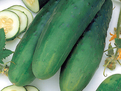 Non-gmo gluten free.. 150 Heirloom FREE Shipping STRAIGHT EIGHT Cucumber