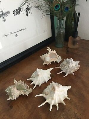 🐚 Selection Vintage RARE Conch Spider Chiragra Shells Seashells Collectable FAB