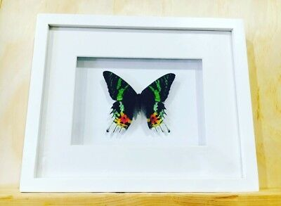 Framed butterfly,  Sunset Moth , insect taxidermy