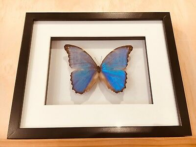 Framed butterfly,  Stunning Giant Blue Morpho, insect taxidermy