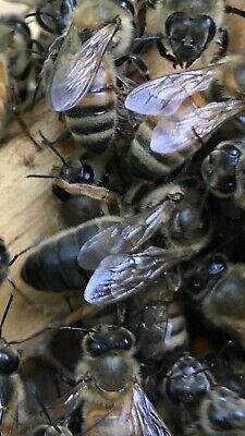 Mated,F1 Laying,Queen Bee,New River Breeder,CaucasiansShipping2019 March/ April.