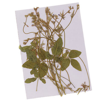 12Pcs Pressed Flowers Real Natural Dried Pea Tendrils DIY Floral Decor Craft