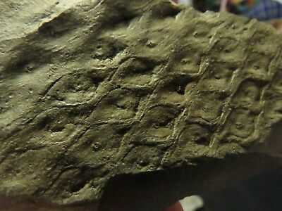 Rare Lepidodendron Scale Tree Fossil from the Carboniferous Pennsylvanian Period
