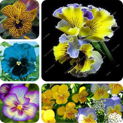 Flower  Pansy Seeds Mix Color Viola Wavy Tricolor Exotic Seeds 100 Pcs Seed
