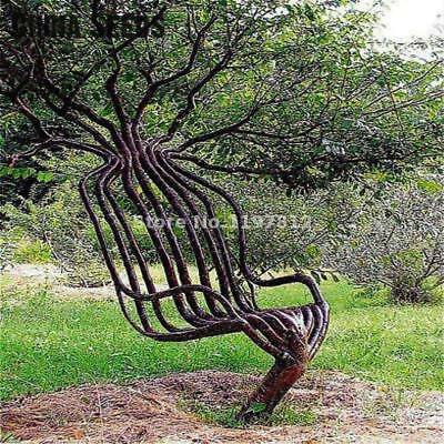 Plant Garden Chair Tree Seeds Outdoor Rare Ornamental Tree 30pcs/pack