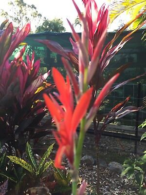 canna lily red 50 fresh seeds