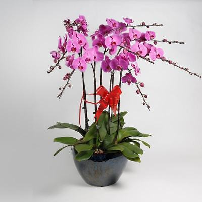 200X Grains Phalaenopsis Seeds Butterfly Orchid Decoration Potted Flower Seed @#
