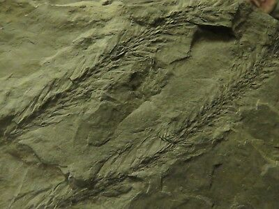 Rare Lepidophylloide Foliage Fossil from the Carboniferous Pennsylvanian Period