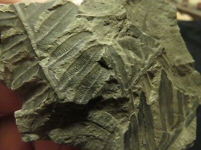 3 Amazing Plant Fossils from the Carboniferous, Pennsylvanian Period