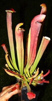 Carnivorous plant. Sarracenia pitcher plant. Self watering option for easy care.