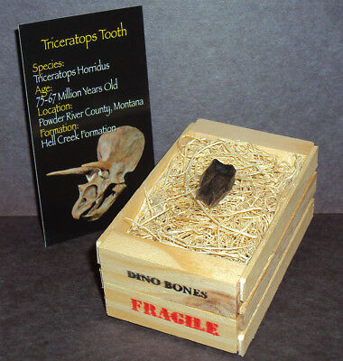 Triceratops Tooth with Crate! REAL Montana Dinosaur Fossil ~ Jurassic World