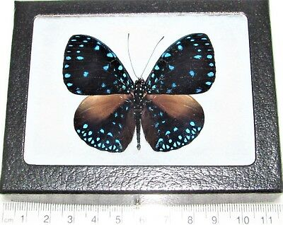 Real Framed Butterfly Blue Hamadryas Laodamia Peru