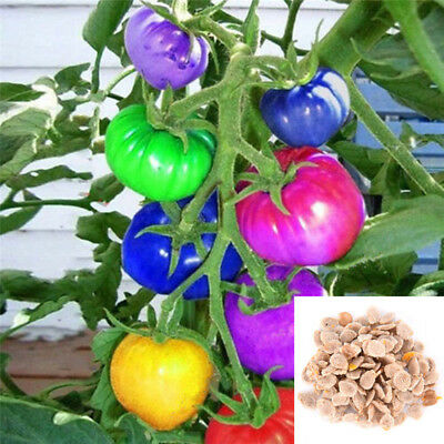 100X Rainbow Tomato Seeds Colorful Bonsai Organic Vegetables Seed Home Garden H