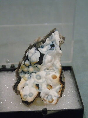 Botryoidal Fossilized Coral Display Specimen Mounted In Case