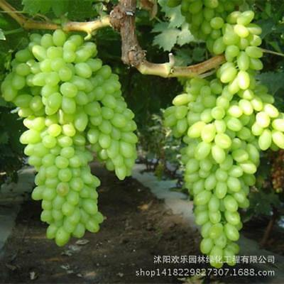 And Green Grape Seed Wholesale Sweet Delicious Fruit Fruiting 50 Seeds/Pack