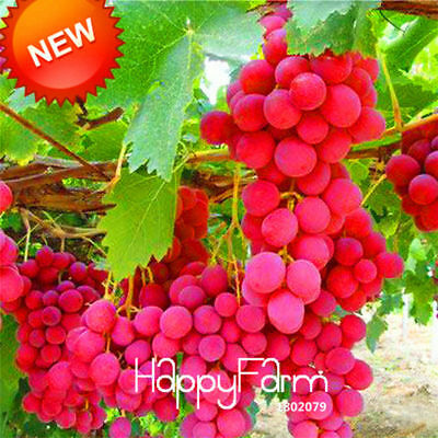 Fruit Advanced Round Grape Seeds Red Rose Seed Natural Delicious 100 PCS/Bag