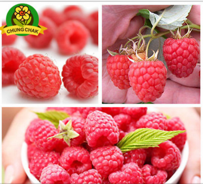Red GIANT Berry  RASPBERRY Rasp Seed Super Big Fruit Seed StrawBerry 2000  Seeds