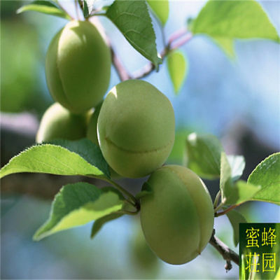 Fruit Plum  Qingpi Fruit Bitter Seeds Plum 10 Green Tree Seed Seeds