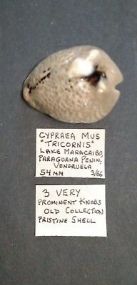 Cypraea Mus Tricornis, 54 mm, Venezuela, From Old Collection, 1966. Prom. Knobs