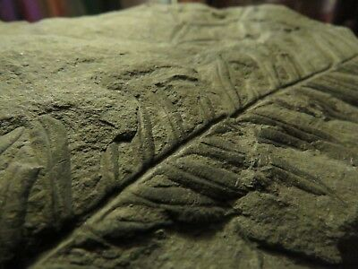 Rare Alethopteris Fern Fossil from the Carboniferous Pennsylvanian Period