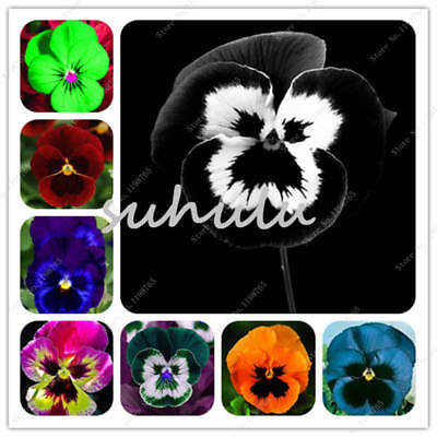 So    Pansy Seeds Viola Color Different Wavy Tricolor Flower Seed Rare 200 Pcs