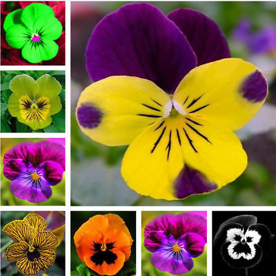 Wavy Tricolor  Mexican Viola Pansy Flower Seeds 50 Pcs Seeds