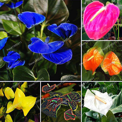 Flower   Potted Seeds Balcony Anthurium Plant   Rose Seeds 100 Pcs Seeds Rare