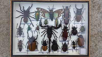 Insect Taxidermy Collection