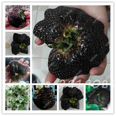 Black Vegeta Strawberry Seeds Giant Strawberry Organic Sweet Fruit Gaint 500 Pcs