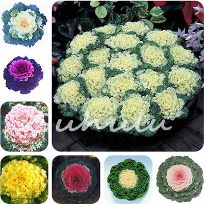 And Flowers Kale Foliage Plant Potted Seeds 100 Pcs