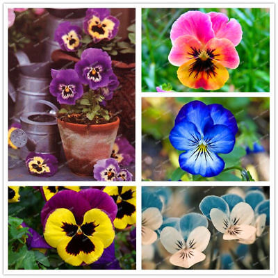 Flower  Mix Color Wavy Viola Pansy Tricolor Seeds Free Shipping 100pcs/pack Seed