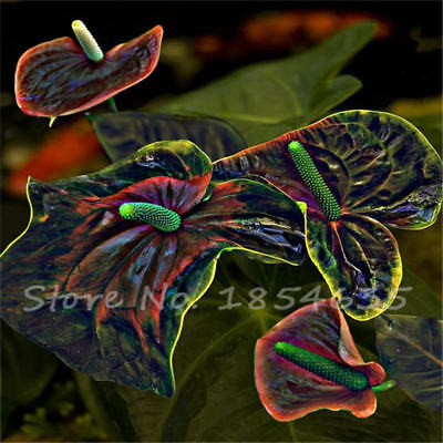 Particles   Sale Anthurium Andraeanu Seed, Blue Anthurium Seeds 100 / Baghot