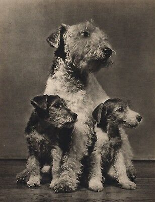Wire Haired Fox Terrier mom with 2 of her Puppies PHOTOGRAPHED BY YLLA 1945