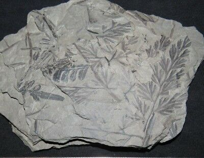 Rare Sphenopteris Fern Fossil from the Carboniferous Pennsylvanian Period