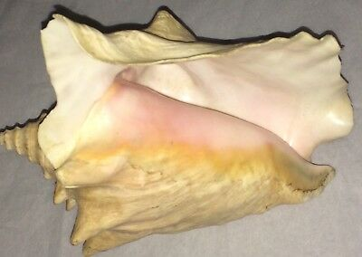 Large 9 Inch Real Pink Conch Seashell Nautical Decor Queen Beach Shell
