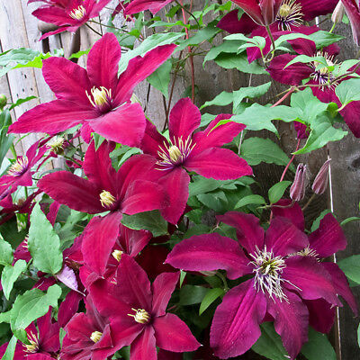 50pcs 24 Colors Mixed Clematis Climbing Plants Seeds Flower Garden Home Decor