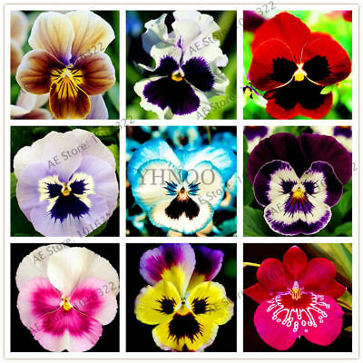 Beautiful Bonsai  Mix Color Perennial Pansy Seeds Flower Potted 100pcs/pack Seed