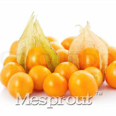 Cape Chinese Fruit   Seeds - Physalis Gooseberry Peruviana Lantern Seeds 50pcs