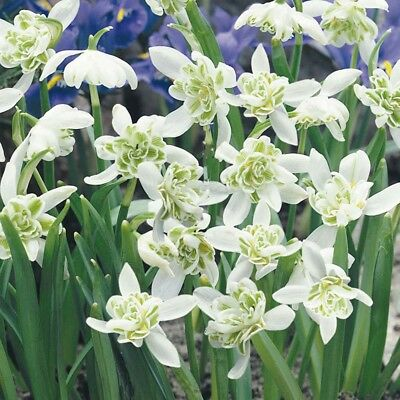25-1000 DOUBLE Snowdrop Bulbs IN THE GREEN (Flore Pleno) SPECIAL OFFER