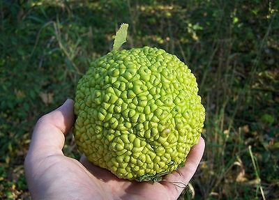 10 HEDGE APPLE Osage Orange Horse Apple Monkey Ball Maclura Pomifera Tree Seeds