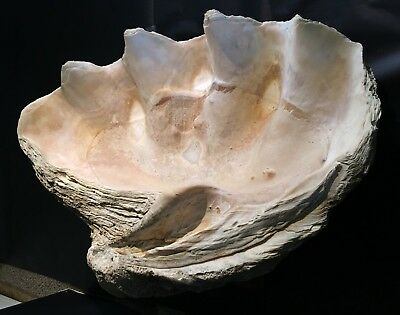 Giant Clam Shell 300+ Lbs Is One Of The World'S Largest Tridacna Gigas!!!
