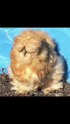 6 Show Quality Silkie Hatching Eggs( Crested, Bearded and Tufted)